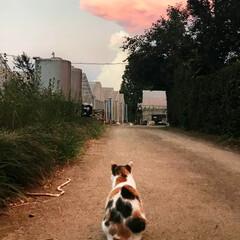 猫/農家猫/夕焼け 物思いにふける農家猫。  赤く染まった夕…