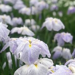 癒されました/自然/プライベート/お花畑/花しょうぶ園/休日/... 先日花しょうぶ園に行ってきました🌼 初め…(1枚目)