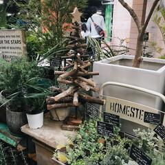 休日/園芸/グリーン/クリスマスツリー/植物ショップ/流木ツリー/... 本日はコストコに買い物へ🚶♀️🚶♀️…
