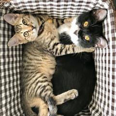ペット/猫/にゃんこ同好会 ハチワレのミコちゃん1歳と、キジトラのソ…(1枚目)