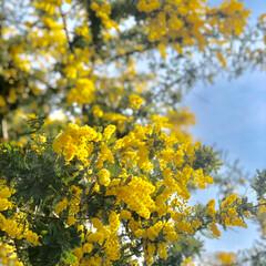 玄関先/ガーデニング/ミモザ/風景/小さい春 うちの玄関のミモザ。元気に咲いてくれてい…