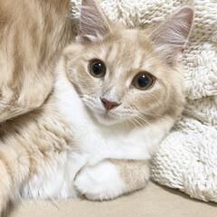 猫と暮らすインテリア/猫と暮らす/人懐こい/クリームタビー/ノルウェージャン/ノルウェージャンフォレストキャット子猫/... うちの猫さん、ノルウェージャンフォレスト…