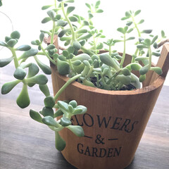 春の朝/お気に入り/癒し/グリーン/雑貨/ダイソー/... お気に入りのグリーンのある暮らし