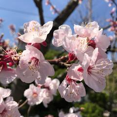 春/御墓参り/お彼岸/桜/おでかけ お彼岸なので、父の御墓参りに行ってきまし…
