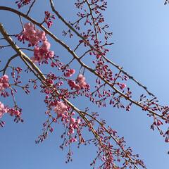 青空/枝垂れ桜 職場の枝垂れ桜🌸 満開まではもう少し…
