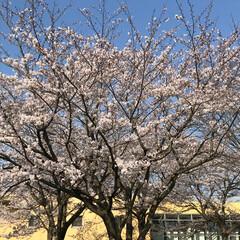 青空/満開/桜🌸 職場の庭の桜も満開になりました🌸