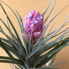 エアープランツ/住まい エアープランツ小さな花が可愛いです❣️