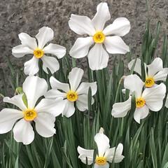 水仙/おでかけ ちょっと変わった水仙の花
