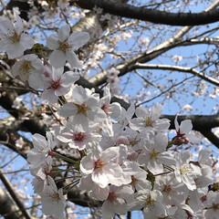 桜🌸/100均/おでかけ こちらも昨日あたりから一気に 桜が咲いて…