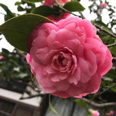 下馬桜の開花はまだ/富士宮/椿/おでかけ 椿🌺