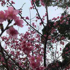 幸せ/桜祭り/桜/デート/おでかけ 桜祭りに行ってきました🌸✨ 今年初めて桜…