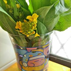 グリーン/春/菜の花/カービィ 春ですねー。 春眠暁を覚えずw。 食べよ…