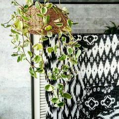 しまむらストール/グリーンインテリア/吊るす/植物/住まい 吊るすグリーン*
