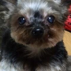 犬派 可愛い娘でしょう✨ ショコラです(^-^…