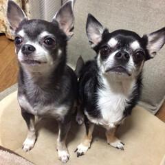 保護犬/チワワ ルークとネーナ