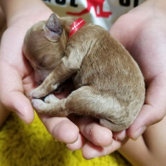 あかちゃん/犬/わんちゃん/寝る/手の中/末っ子 末っ子の手の中で寝るわんちゃんbaby💖