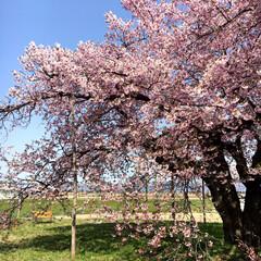 桜🌸/おでかけ 淡いピンク色のオオヤマザクラ