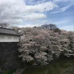 桜🌸/お城跡/おでかけ 桜を見に行きました。