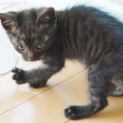猫/黒トラ/猫ライフ/子猫/1か月/保護猫/... 黒トラ子猫こてつ。我が家に来たその日のシ…