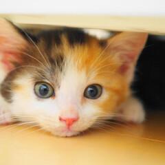 ペット/猫/子猫/1か月/三毛猫/保護猫/... ノラ出身の保護子猫むぎちゃんが我が家に来…