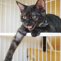 猫/ペット/黒トラ/4か月/うちの子/かわいい/... 我が家の黒トラこてつ。推定生後4か月。威…