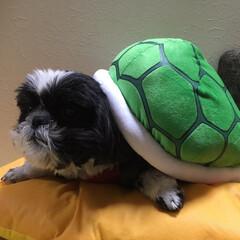 シーズー犬/愛犬 カメの甲羅リュックを乗せてみました😊✨ …