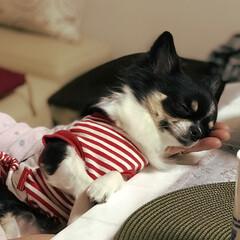 おやすみ/可愛い/お昼寝/チワワ/ペット 実家でのひと時。母が座るとおねだりしてい…