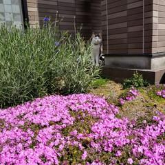 矢車草/芝桜/LIMIAペット同好会/ペット/ペット仲間募集/猫/... お庭に咲いた芝桜🌸矢車草✿ と、ちっちゃ…