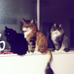 ノルウェージャンフォレストキャット/メインクーン/黒猫/猫/ペット/サマーカット/... 黒猫のキース、メインクーンのルイ、ノルウ…