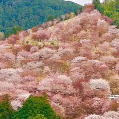 桜/千本桜/花見 奈良県吉野の千本桜🌸 とっても綺麗だった…