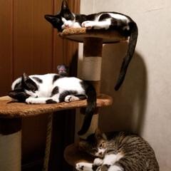 成長記録/仲良し兄妹/兄妹ニャンコ😺/猫/令和の一枚/LIMIAペット同好会/... 兄妹仲良く🎵 タワーで夕食後の居眠りタイ…