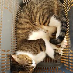 癒し猫/成長記録/仲良し3兄妹🐱/キジ白猫/にゃんこ大好き❤️/令和の一枚/... 今日も大好きなカゴの中でお昼寝中のミーく…