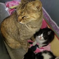 ペット/ペット仲間募集/猫 うちに来る日の写真📷 ママちゃんとの最後…(1枚目)