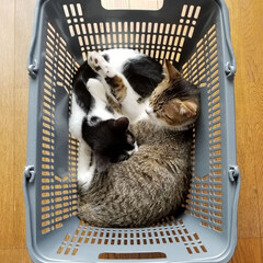 大好きな場所/にゃんこ成長記録/仲良し兄妹猫/にゃんこ大好き❤️/白黒ブチ猫/キジ白猫/... 大好きなカゴの中で😺兄妹仲良く😺お昼寝中…