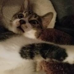 キジ白猫/仲良し兄妹猫/にゃんこ大好き❤️/LIMIAファンクラブ/LIMIAペット同好会/にゃんこ同好会/... ビックリ顔のミーくん🐱 遊びに夢中だった…