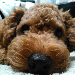 犬/プードル 鼻でか