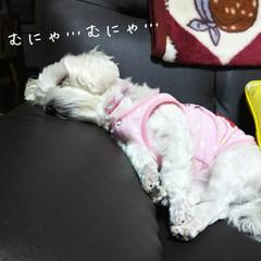マルチーズ ソファーの隅で、寝ごと言って寝てる梨莉ち…
