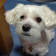 マルチーズ/犬 連休初日、梨莉ちゃん🐶お風呂に入りました…(1枚目)