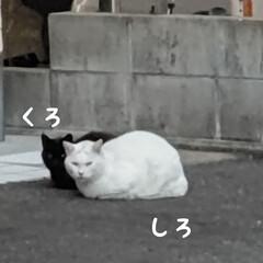 野良猫ちゃん 野良猫ちゃん🐱黒と白 見事に2色、寄り添…