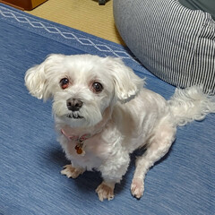 マルチーズ/犬 連休初日、梨莉ちゃん🐶お風呂に入りました…(2枚目)
