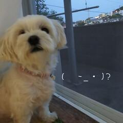 マルチーズ/わんこ同好会 今日の梨莉ちゃん🐶 窓を開けると、外が気…