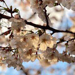 雨上がりの夕焼け/桜 雨に濡れた桜キレイ🌸🌸🌸
