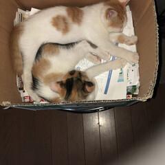 ウチの猫/ペット/猫 段ボールの狭い所で2匹仲良くお昼寝中😍
