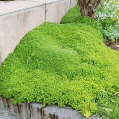 グリーン 庭の隅に、なにげに植えたら、こんなに広が…