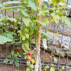 家庭菜園/トマト/あいこ/おうちごはん/住まい おはようございます☀️🙋❗ あいこ❗順調…