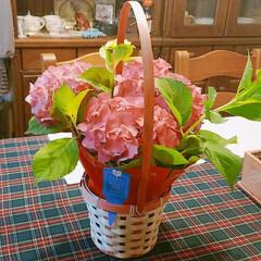 遅すぎる母の日/紫陽花/おかんプレゼント 紫陽花が好きな【おかん】にプレゼント🌺🌺…