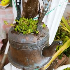 鉢は何でもあり(笑)/セダムのじゅうたん/多肉寄せ植え/多肉の赤ちゃん 多肉の赤ちゃん寄せ植え中😊💚 いっぱい増…(3枚目)