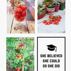 収穫/アイコ/家庭菜園/住まい アイコ🍅収穫😊👍 いい感じ可愛い 食べる…