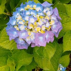 頑張ろう/週末/梅雨/紫陽花 おはようございます🎵 週末です😉👍 今日…