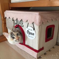カフェ/布/猫/猫カフェ/段ボール/ダンボール/... お手製の猫カフェで気まぐれオープン🐾 接…